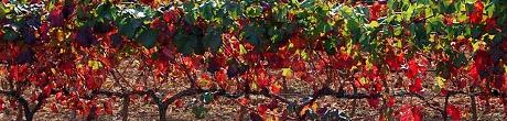 La vinya vermella